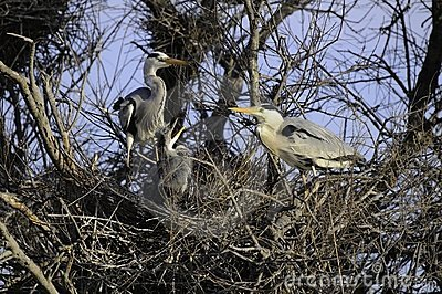 Common herons in nest