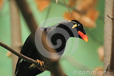 Common Hill Myna Stock Photography - Image: 28416482