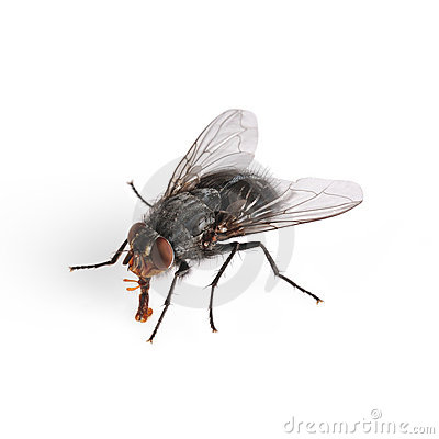 Free Common House Fly Macro Royalty Free Stock Photo - 7405325
