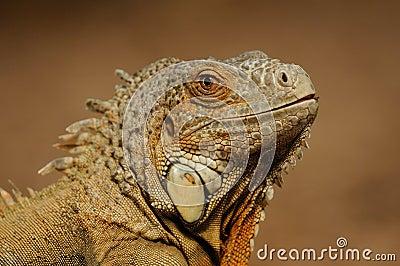 Common Iguana (Iguana iguana)