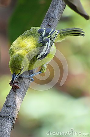 Free Common Iora With Its Prey Royalty Free Stock Photo - 103970265