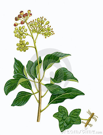 Common Ivy sprig (Hedera helix)