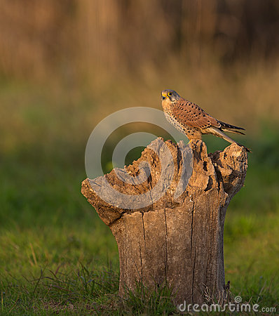 Free Common Kestrel Royalty Free Stock Photo - 29004935