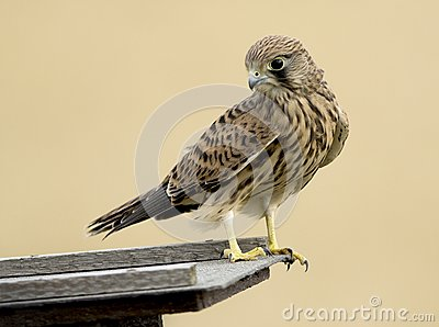 Common kestrel bird