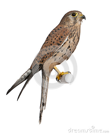 Free Common Kestrel, Falco Tinnunculus Royalty Free Stock Photo - 24991555