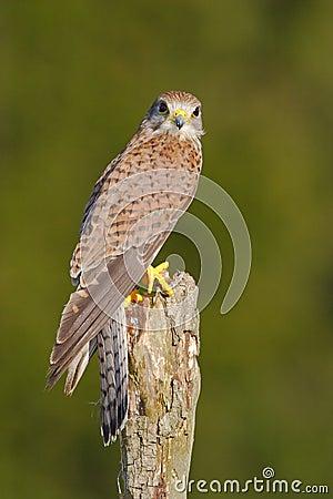 Free Common Kestrel, Falco Tinnunculus, Little Birds Of Prey Sitting On The Tree Trunk, Slovakia. Summer Day With Kestrel. Wildlife Sce Stock Photography - 88567912