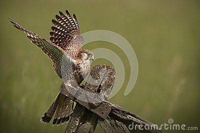 Common Kestrel landing