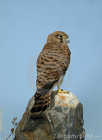 Free Common Kestrel On A Rock Stock Images - 18626294