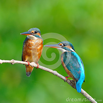 Free Common Kingfisher Royalty Free Stock Photo - 34946795