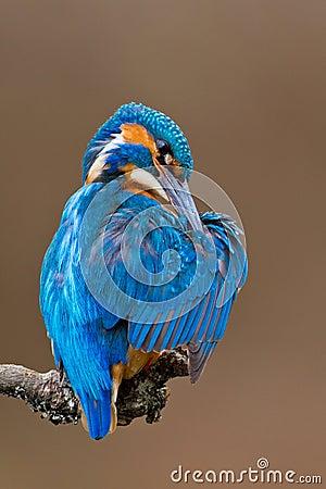 Common Kingfisher (Alcedo attis) male preening