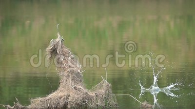 Kingfisher fishing. A Common Kingfisher is fishing in river. Scientific name: Alcedo atthis