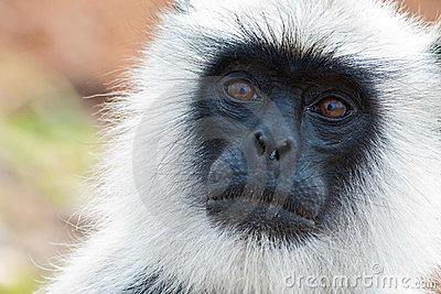 Common Langur Closeup Portrait