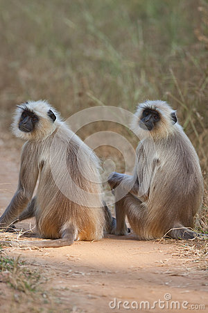 Common Langur monkeys