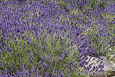 Common lavender (Lavandula angustifolia)