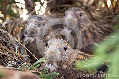 Common Linnet baby birds