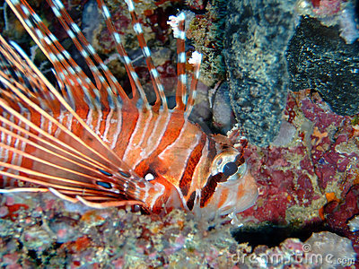 Common lionfish, Maldives