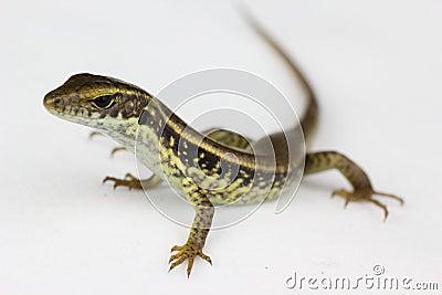 Common Lizard closeup