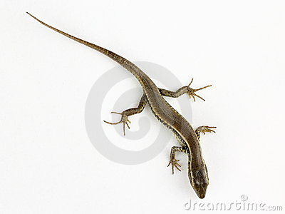 Common lizard isolated