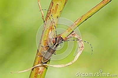 Common longhorn beetle