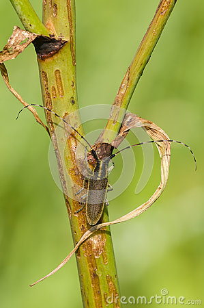 Common longhorn beetle