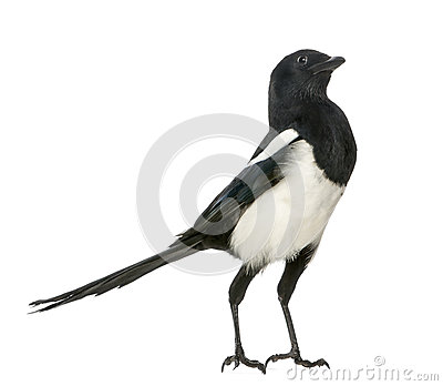 Common Magpie upright looking up, Pica pica, isolated