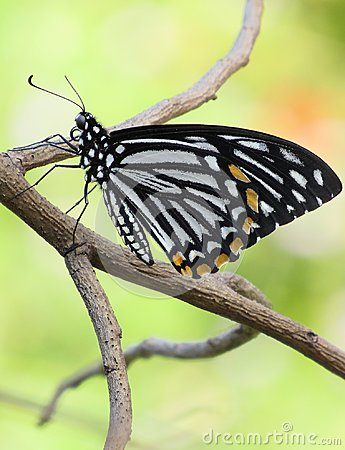 Free Common Mime Butterfly Up-close Royalty Free Stock Photo - 103740445