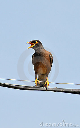 Common myna calling her mate
