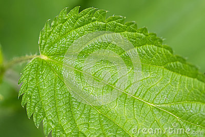 Common nettle plants with defensive stinging hairs on green leav Stock Photo