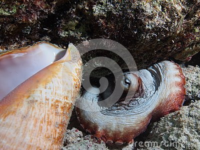 Common octopus with conch shell