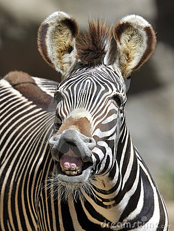 Free Common Or Burchells Zebra Kenya ,africa Royalty Free Stock Images - 19110639