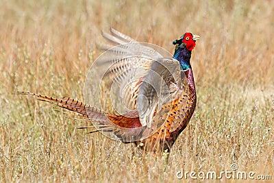 A common Pheasant