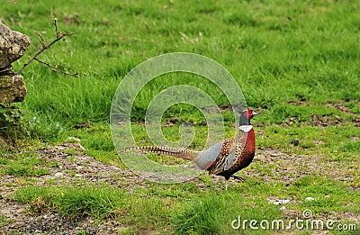 Common Pheasant (Phasianinae colchicus)