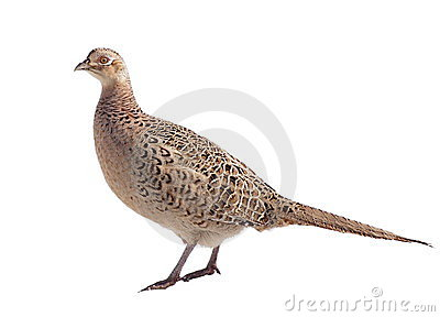 Common Pheasant female isolated on white