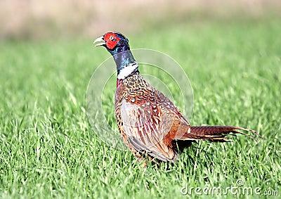 Common Pheasant ( Phasianus colchicus )