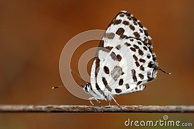 Common Pierrot
