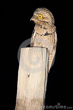 Free Common Potoo, Nyctibius Griseus, Nocturnal Tropic Bird In Flight With Open Wings, Night Action Scene, Animal In The Dark Nature Ha Stock Photography - 70952622