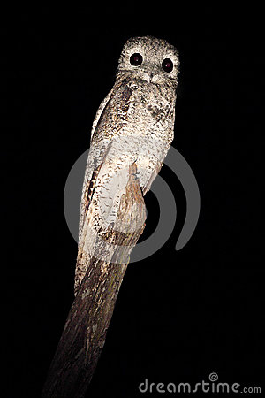 Free Common Potoo, Nyctibius Griseus, Nocturnal Tropic Bird In Flight With Open Wings, Night Action Scene, Animal In The Dark Nature Ha Royalty Free Stock Images - 70952629