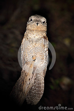 Free Common Potoo, Nyctibius Griseus, Nocturnal Tropic Bird Sitting On The Tree Branch, Night Action Scene, Animal In The Dark Nature H Royalty Free Stock Photo - 70944065