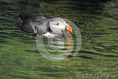 Common puffin