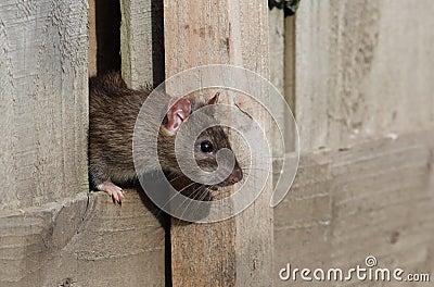 Common rat.