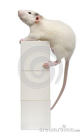 Common rat or sewer rat or wharf rat