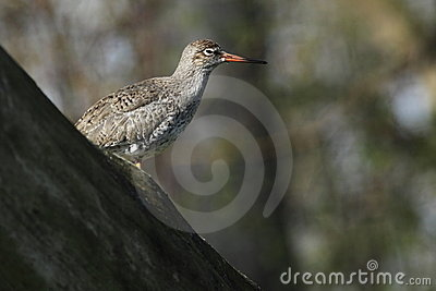 Common redshank sitting on the tree