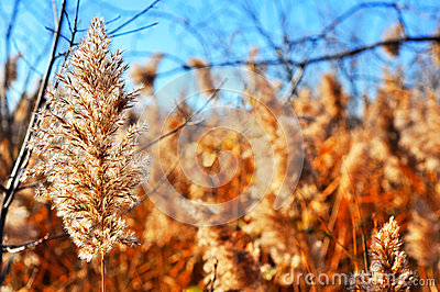 Common reed winterscape