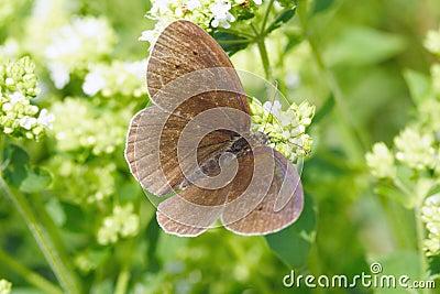 Common ringlet butterfly (Aphantopus hyperantus)
