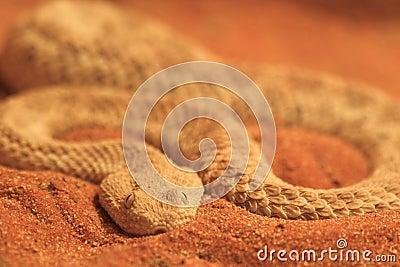 Common sand viper