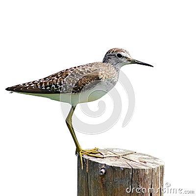 Free Common Sandpiper Bird Royalty Free Stock Photo - 37631835