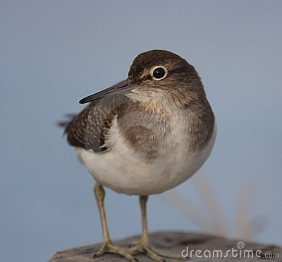 Common Sandpiper on the wall