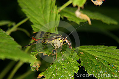 Common Scorpion fly (Panorpa communis)
