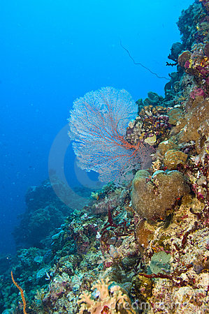 Common sea fan on coral reef