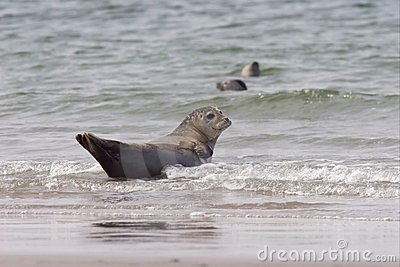 Common Seal 1